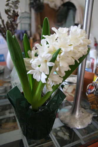 A beautiful hyacinth